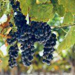 grappes-raisins